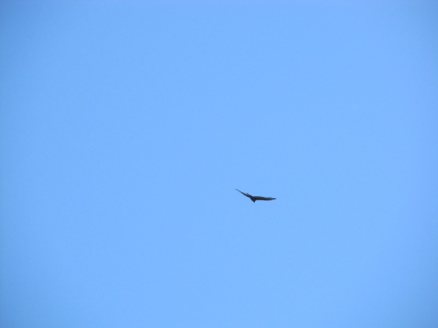 Pretty sure this is an eagle soaring high above the golf course below. Probably lost his ball in the rough.