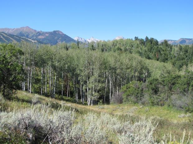 Aspen trees are pretty much everywhere here in Aspen. Go figure.